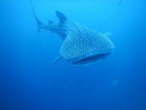 ジンベエザメ ダイビング フィリピン